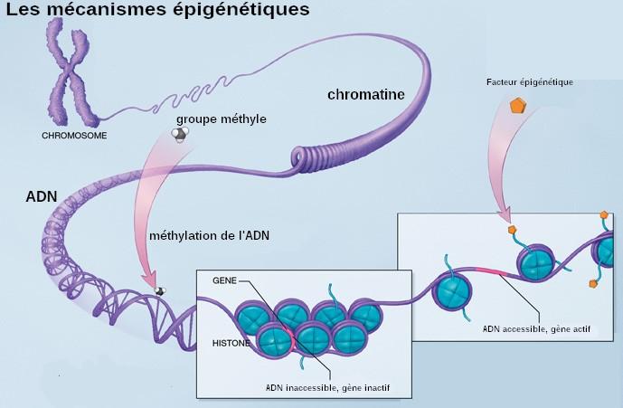 Implication des modifications épigénétiques sur le cancer du sein